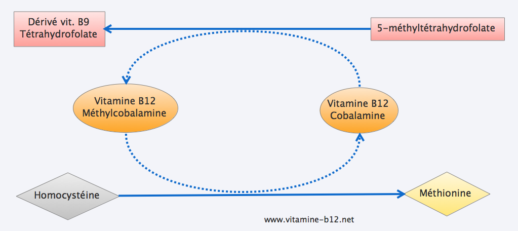 homocysteine-vitamineb12-convertion