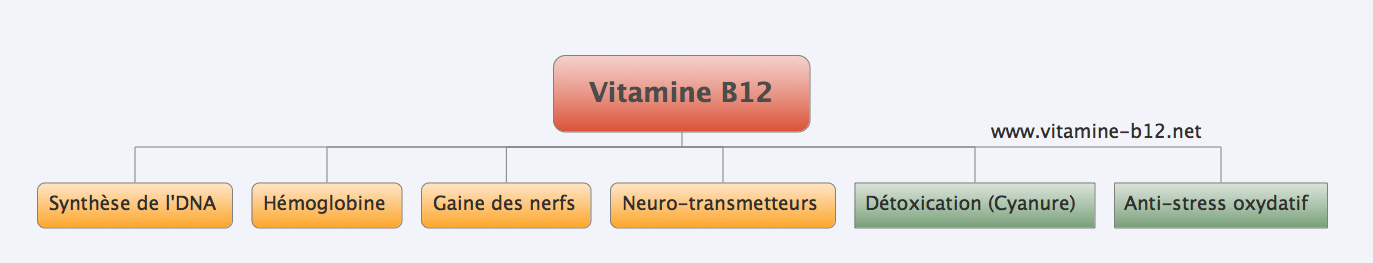 role-vitamine-b12