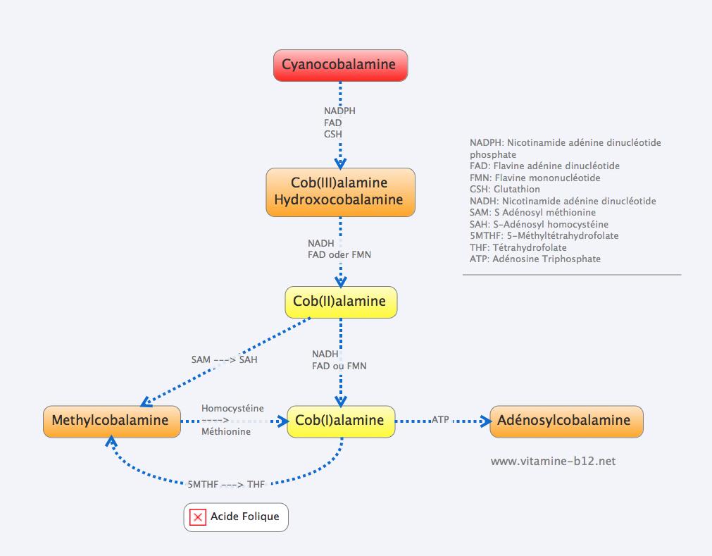 B12-cyanobobalamine-métabolisme