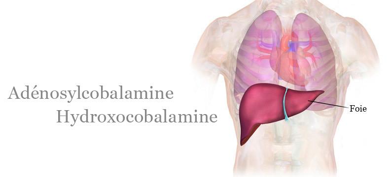 Réserves de Vitamine B12 dans l'organisme